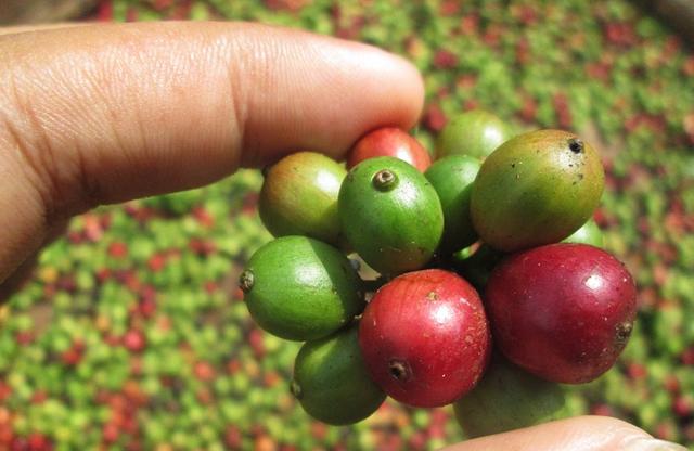 Eine Hand hält einen Bund Kaffeekirschen. Manche sind reif, andere noch unreif und grün. Im Hintergrund liegt ein Haufen geernteter Kaffeefrüchte.